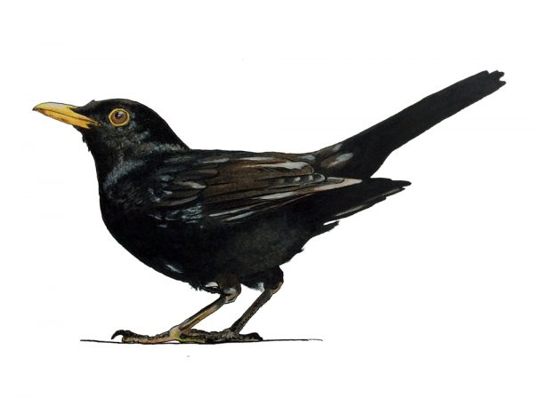 Drawing of a blackbird