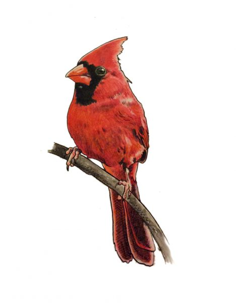 Drawing of a cardinal bird