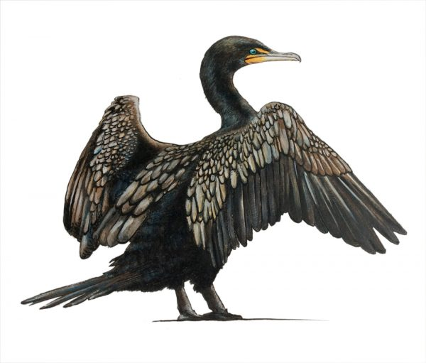 Drawing of a cormorant