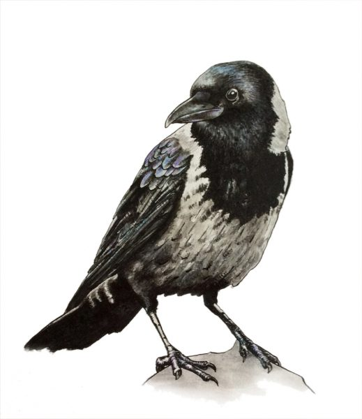 Drawing of a hooded crow