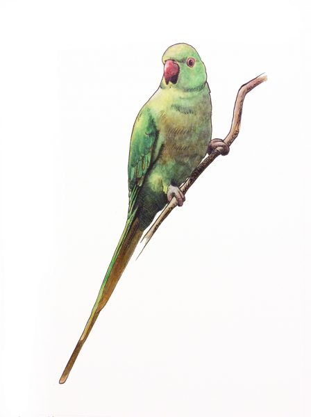 Drawing of a parakeet