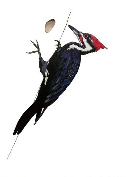Drawing of a Woodpecker